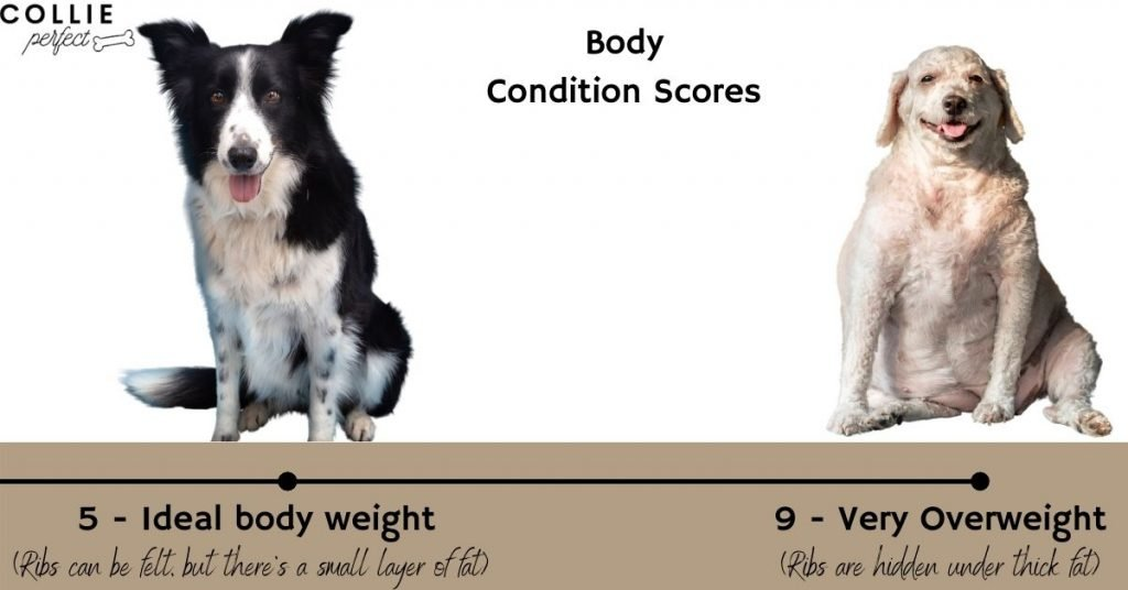 Body Condition Score Chart for Border Collies