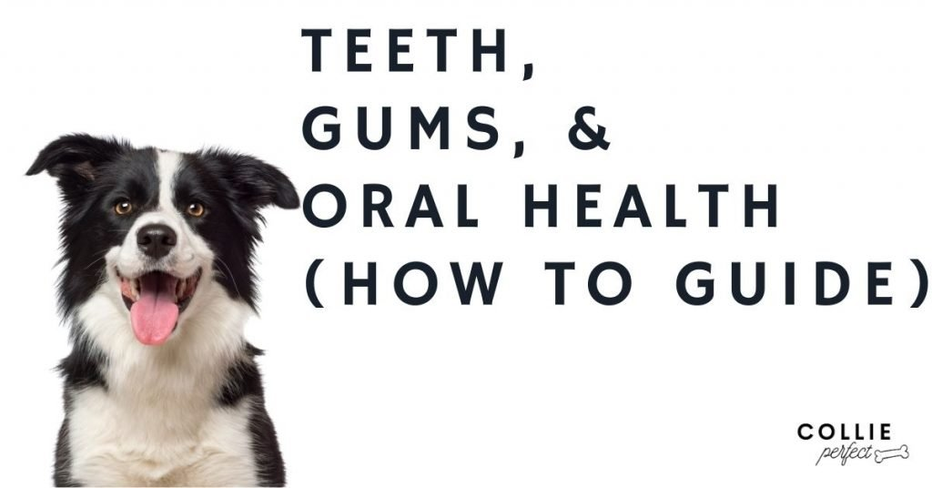 Border Collie Teeth, Gums and Oral Health Problems