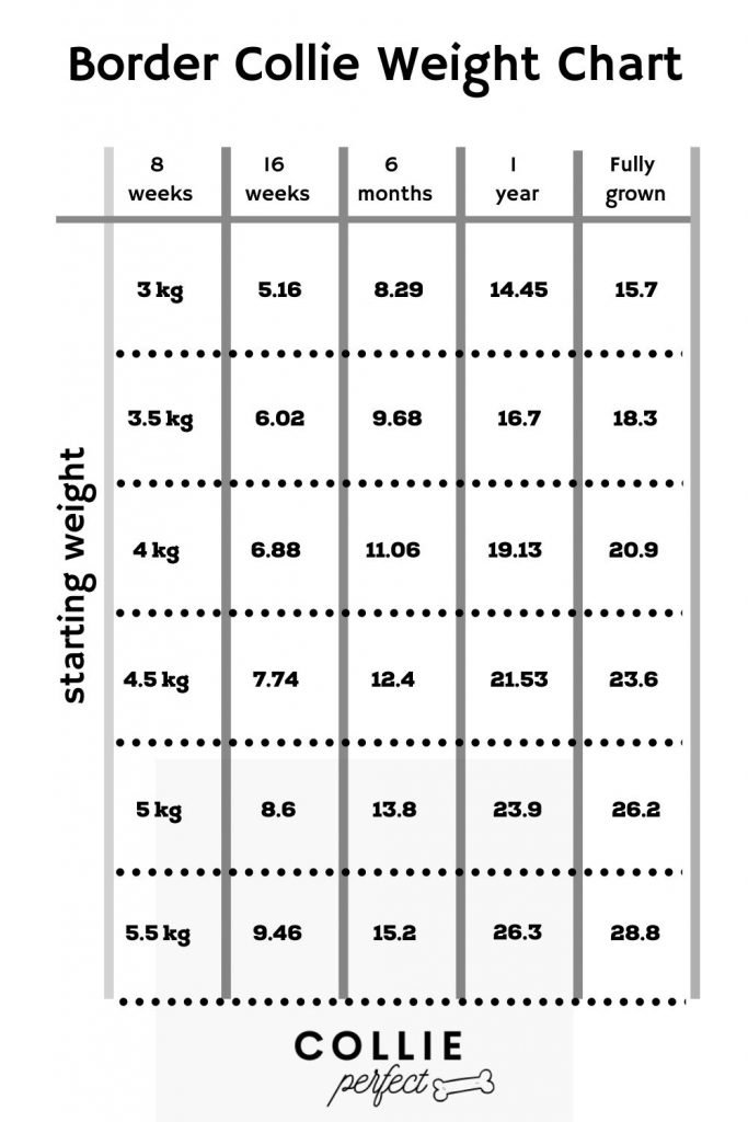 Border Collie Weight Chart from 8 weeks to Fully Grown