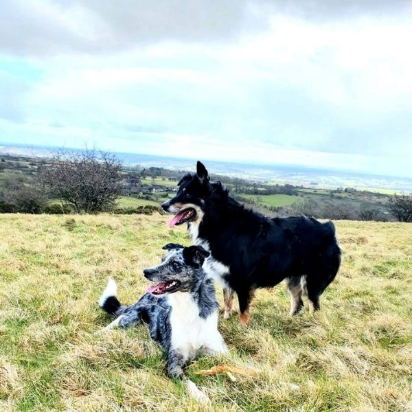 Border Collies in open field