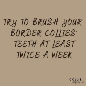 How often should you clean border collies teeth