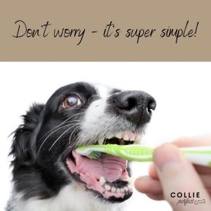 How to clean border collie teeth