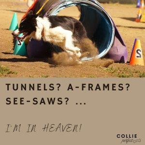 How to entertain a Border Collie - Agility Training