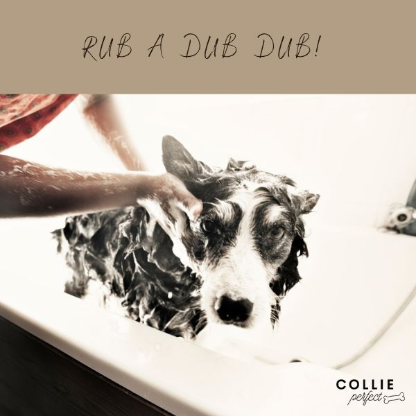 Bathing a border collie showing a border collie in a bathtub