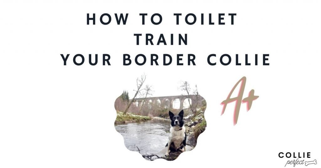 How to Toilet Train a Border Colle - owner's guide