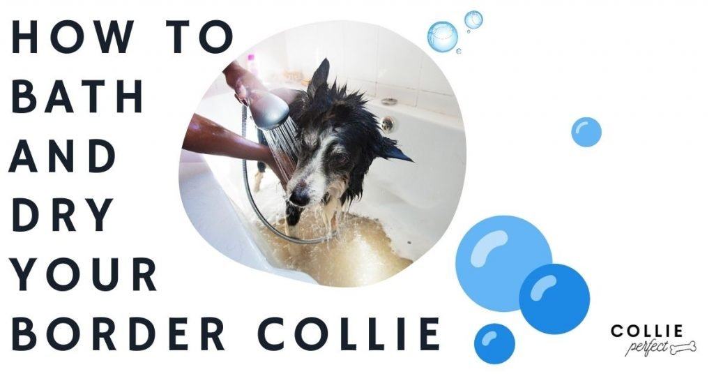 How to bath and dry a Border Collie? How Often