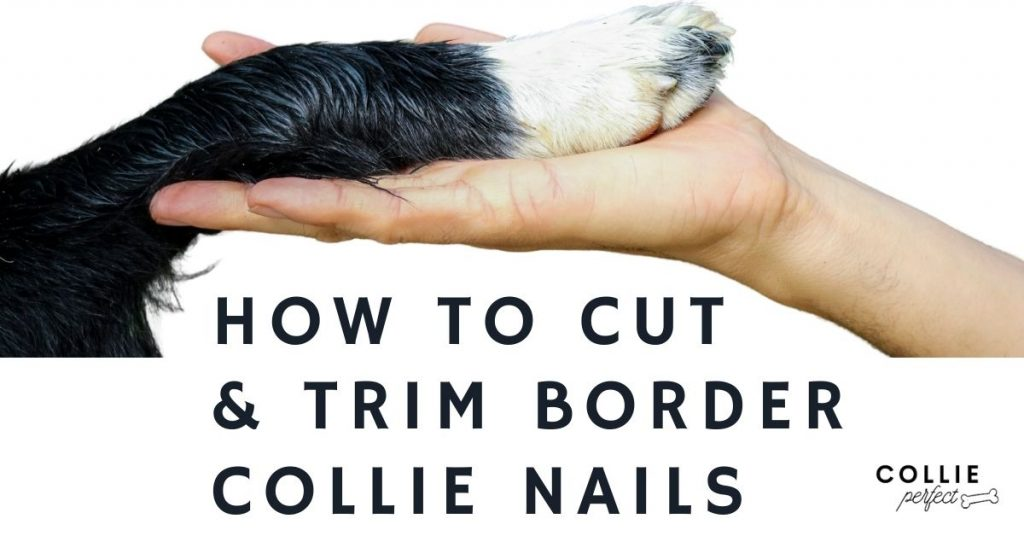 How to cut and trim border collie nails