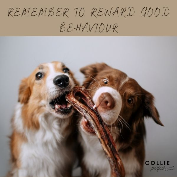 Rewarding good behaviour while crate training your border collie