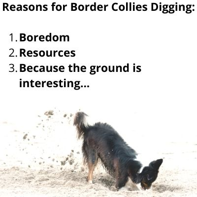 reasons why border collies dig