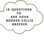 16 Questions to Ask when Buying a Border Collie Puppy