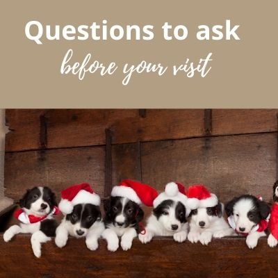 Questions to ask when buying a border collie