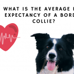What is the average life expectancy of a border collie